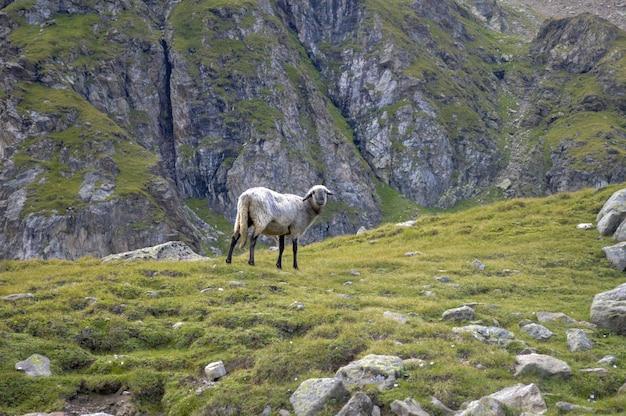 Ovelha curiosa em uma encosta de montanha rochosa durante o dia