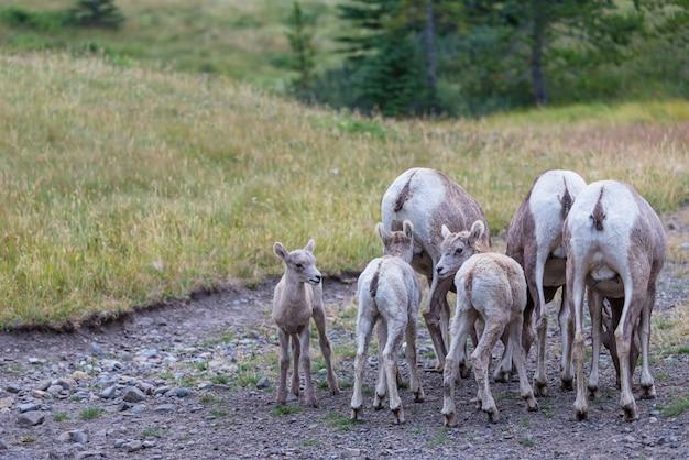 Ovelha de chifre grande, no parque nacional de banff, no outono, nas montanhas rochosas, no canadá