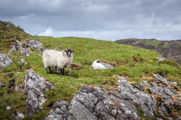Ovelha e cordeiro escoceses blackface em uma colina perto de loch morar