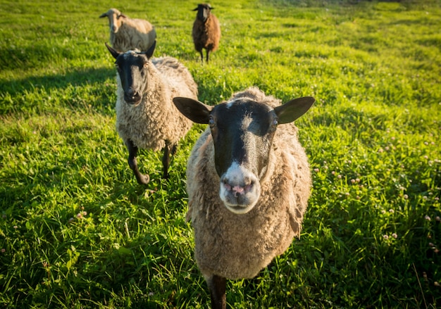 Ovelha em uma grama verde