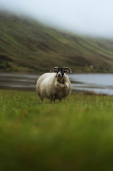 Ovelha escocesa blackface em talisker bay, na ilha de skye, na escócia