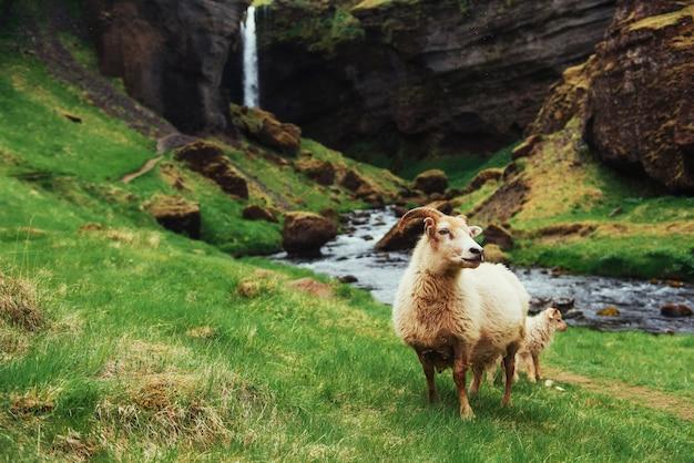 Ovelha islandesa