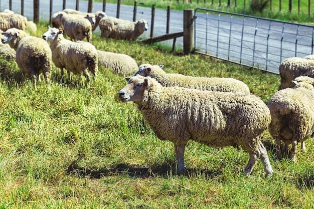 Ovelha merino na fazenda de gado na nova zelândia