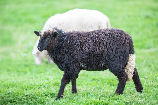 Ovelha negra em uma manada de brancos em um prado verde.