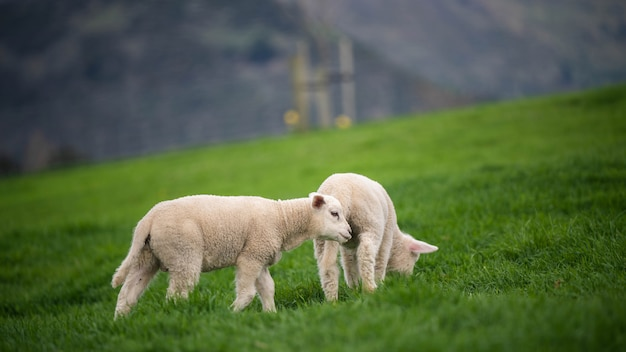 Ovelhas com vista natural