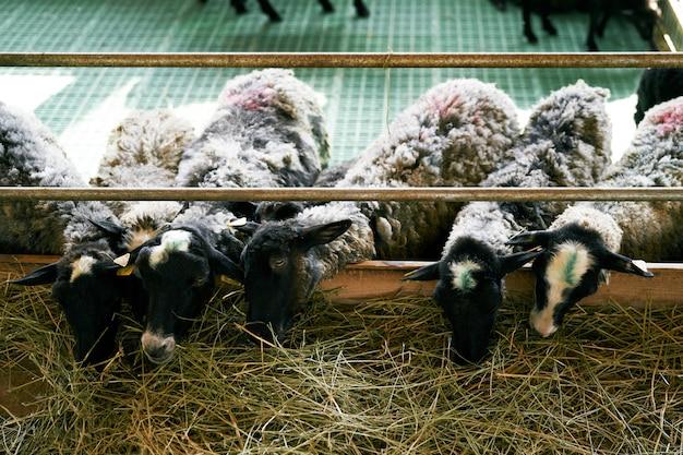 Ovelhas comem feno atrás de uma cerca em uma fazenda