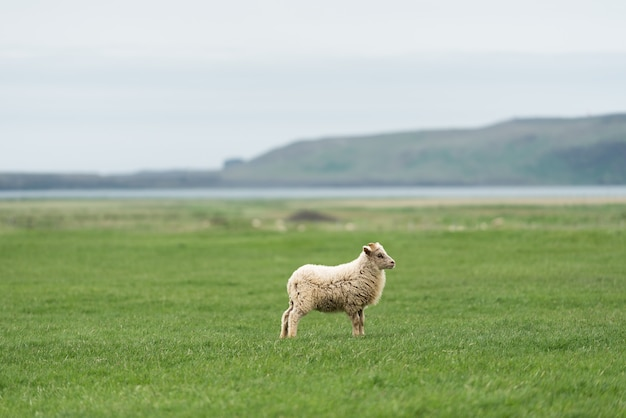Ovelhas da islândia branca no pasto. campo com grama verde. vista do cabo dyrholaey na costa sul, não muito longe da aldeia vik