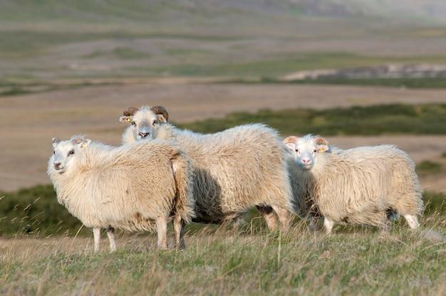 Ovelhas de lã em pé na pastagem