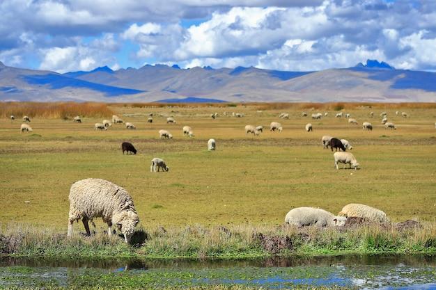 Ovelhas domésticas (ovis orientalis aries) que pastam nas margens do lago junin.