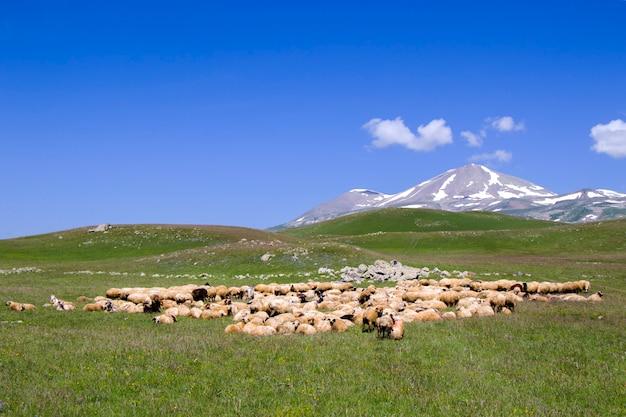 Ovelhas e cabras no vale. vida de animal doméstico. fazenda nas montanhas. grande grupo de ovelhas.