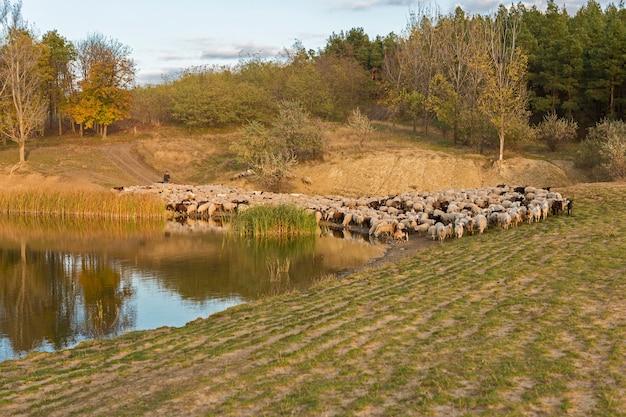 Ovelhas e cabras pastam na grama na primavera