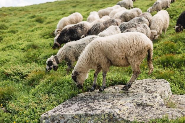 Ovelhas em um pasto na grama verde. rebanho de ovelhas pastando em uma colina. montanhas europeias pastoreamento tradicional em campos de grande altitude, bela natureza