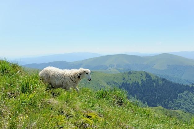 Ovelhas em um prado nas montanhas