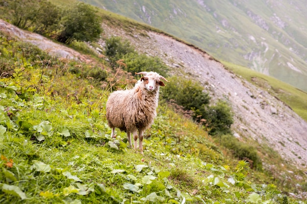 Ovelhas em uma fazenda de montanha em um dia nublado.