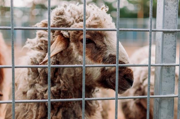 Ovelhas em uma gaiola, retrato. os mamíferos estão no zoológico. animais famintos. foco seletivo.