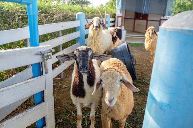 Ovelhas grupo bonito na fazenda