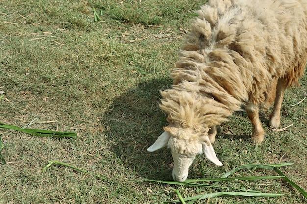 Ovelhas na fazenda