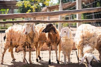 Ovelhas na gaiola no zoológico