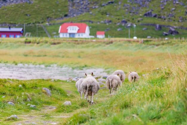 Ovelhas na noruega