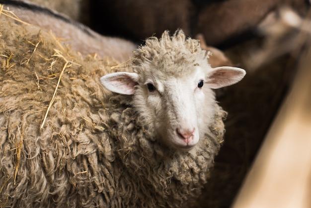 Ovelhas na vila. ovelhas em um galpão de madeira ao lado do feno.