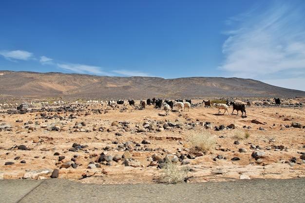 Ovelhas nas montanhas da arábia saudita