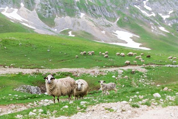 Ovelhas nas montanhas