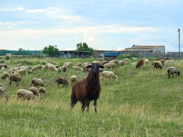 Ovelhas negras cercadas por rebanhos pastam na vila no verão