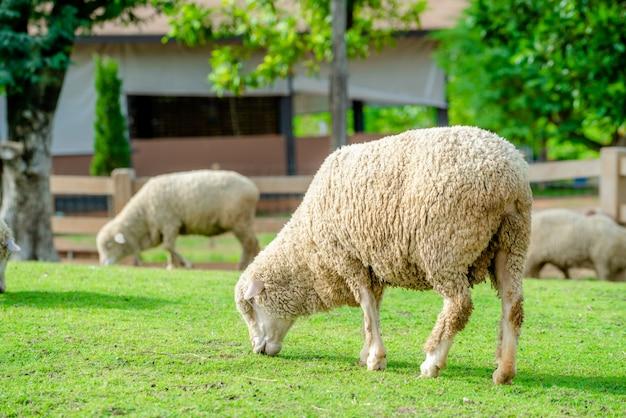 Ovelhas no campo de grama verde em casa de fazenda.