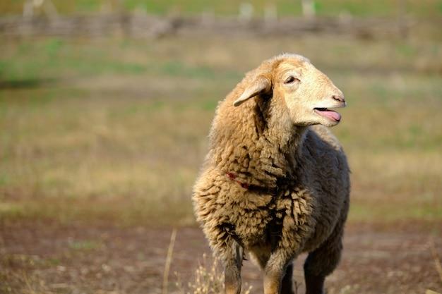 Ovelhas no campo ovelhas na natureza no prado criação de ovelhas ao ar livre chama o pastor
