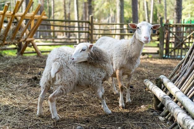 Ovelhas no curral. animais de estimação ovelhas na fazenda.