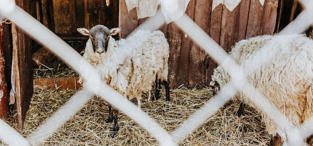 Ovelhas no curral atrás da rede. fazenda rústica. gado