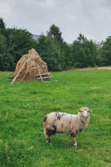 Ovelhas no gramado