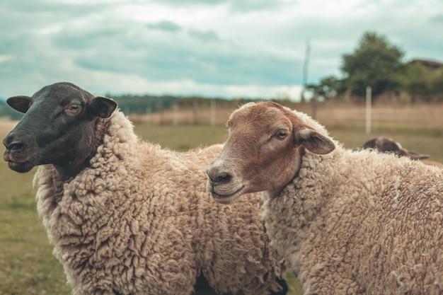 Ovelhas no pasto em um pasto em uma fazenda.