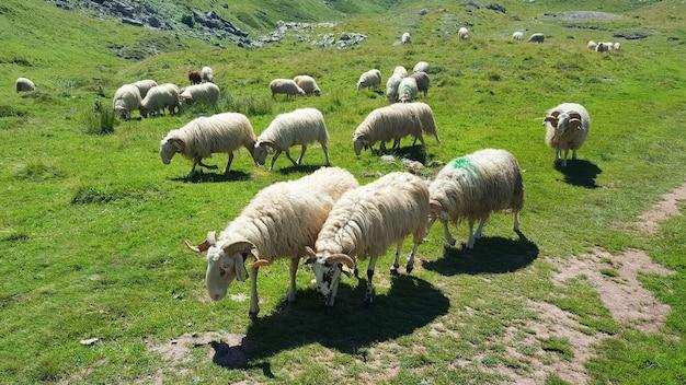Ovelhas no pasto. ovelhas em pastagem, deitado em um prado de montanha.
