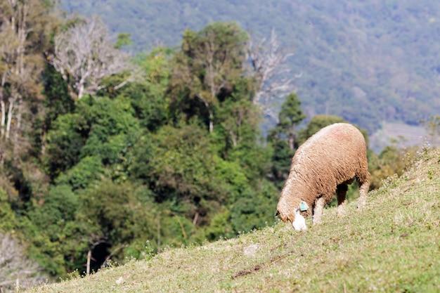 Ovelhas no prado bela montanha