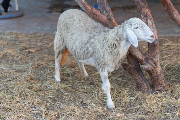 Ovelhas ovelhas na natureza. ovelhas no prado. criação de ovelhas. criação de ovelhas ao ar livre.