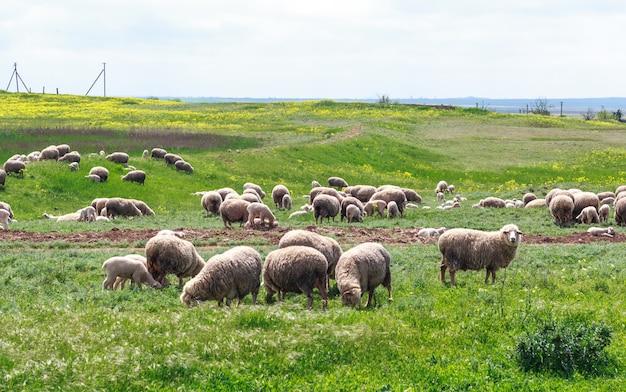 Ovelhas pastam em um prado