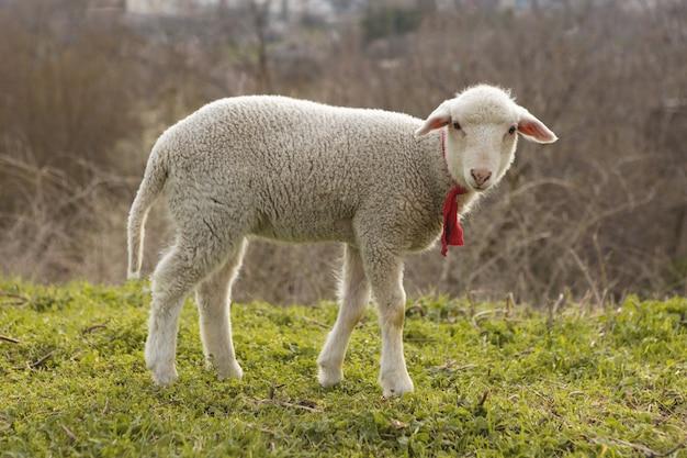 Ovelhas pastam na grama na primavera