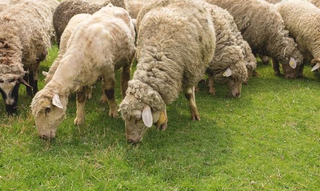 Ovelhas pastam na grama verde na primavera