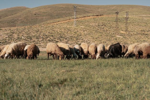 Ovelhas pastam no campo ao pé da montanha