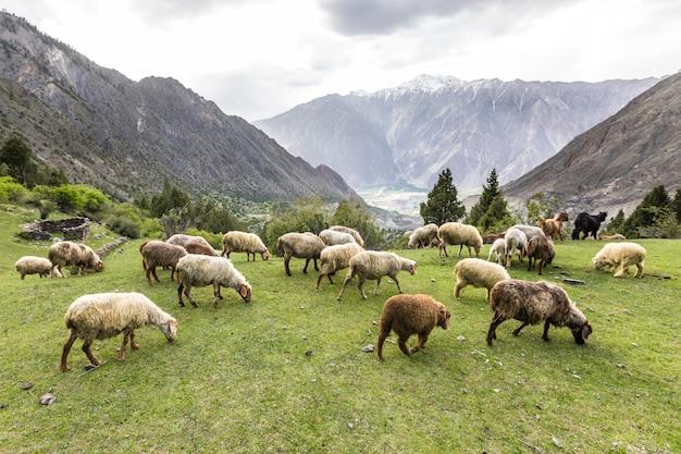 Ovelhas pastando em um prado verde na montanha. foto de alta qualidade