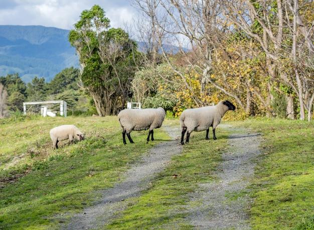 Ovelhas pastando em uma bela área rural com montanhas