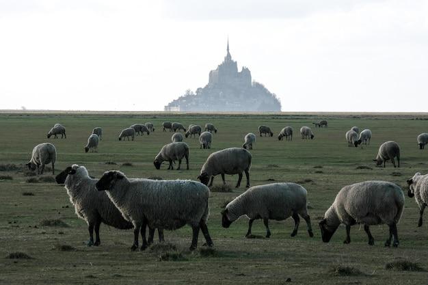 Ovelhas pastando na grama em frente a um prédio