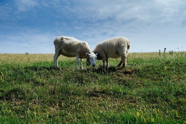 Ovelhas pastando no campo verde durante o dia