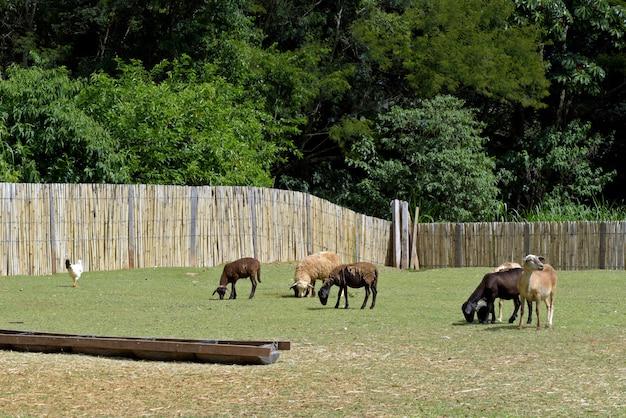 Ovelhas pastando no pasto