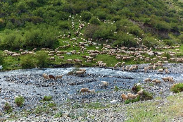 Ovelhas perto do leito de um rio de montanha, rebanho de ovelhas pastando em uma colina em um prado verde, pastando ovelhas nas colinas verdes do planalto de assy cazaquistão.
