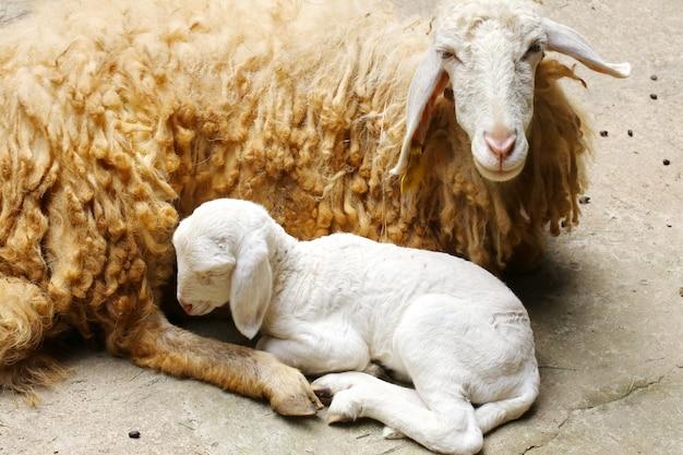 Ovelhas recém-nascidas, o cordeiro recém-nascido abandonado
