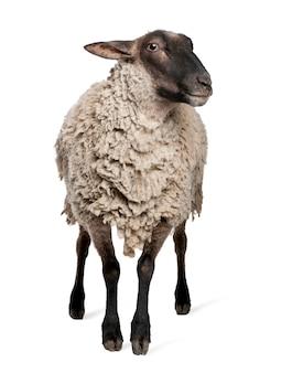 Ovelhas suffolk - em um branco isolado