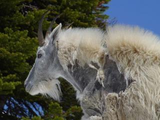 Ovinos, caprinos montanha