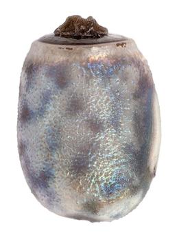 Ovo de bicho-pau - myronides sp.